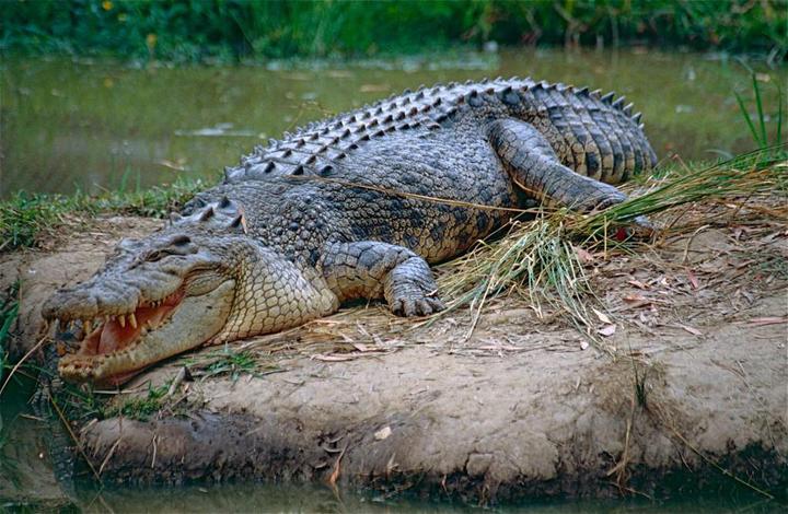 Cá Sấu Hoa Cà Là Gì